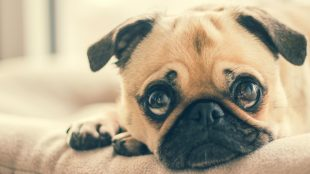 Pugs are pften stolen - article about dog theft on Silver Magazine www.silvermagazine.co.uk